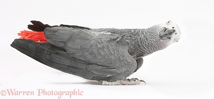 African Grey Parrot, making a funny face