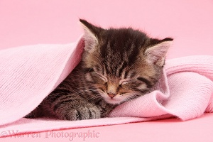 Cute tabby kitten, 6 weeks old, sleeping under a pink scarf
