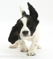Springer Spaniel puppy jumping up