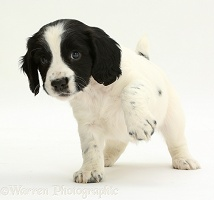 Springer Spaniel puppy with raised paw