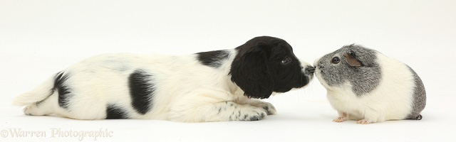Springer Spaniel puppy and Guinea pig