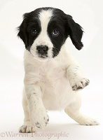 Springer Spaniel puppy with raised paws