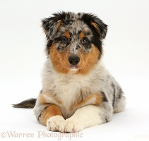 Australian Shepherd pup lying, head up