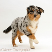 Australian Shepherd pup walking
