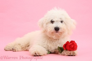 Bichon Frise with a red rose