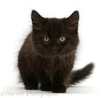 Fluffy black kitten, 10 weeks old