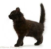 Fluffy black kitten