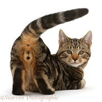 Tabby cat showing his behind and looking round