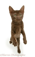 Brown Oriental-type kitten standing up