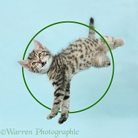 Cute tabby kitten leaping like Warren Photographic logo