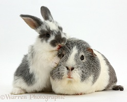 Baby bunny and Guinea pig kissing
