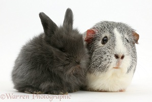 Baby bunny and Guinea pig