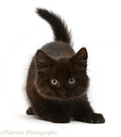 Playful fluffy black kitten