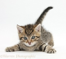 Cute playful tabby kitten, 6 weeks old