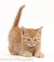 Playful ginger kitten kneading