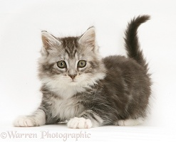 Playful grey tabby Maine Coon kitten