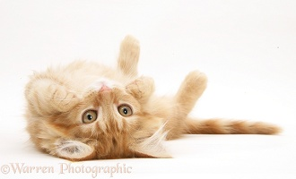 Ginger Maine Coon kitten rolling over