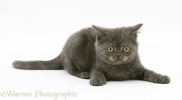 Playful grey kitten