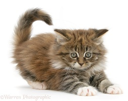 Playful Maine Coon kitten, 7 weeks old