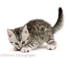 Playful silver spotted shorthair kitten