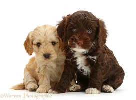 Two Cockapoo puppies