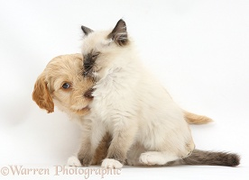 Ragdoll kitten and Cockapoo puppy