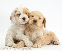 Two sleepy Cockapoo puppies