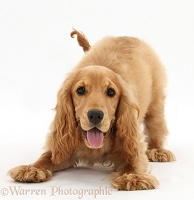 Playful Golden Cocker Spaniel
