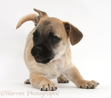 Playful Jug puppy (Pug x Jack Russell)