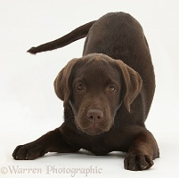 Chocolate Labrador pup in play-bow
