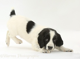 Playful Springer Spaniel puppy