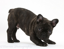 Dark brindle French Bulldog pup