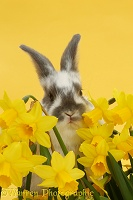 Baby bunny among daffodils on yellow background