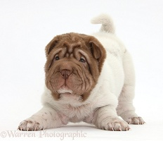 Shar Pei pup in play-bow stance