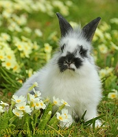 Young rabbit among Spring primrose flowers