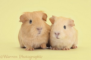 Yellow baby Guinea pigs on yellow background