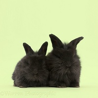 Two black baby bunnies on green background