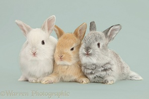 Baby Lop rabbits on grey background