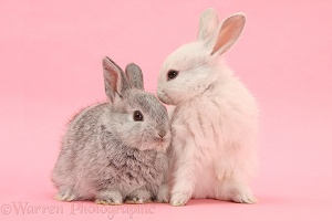 White and silver young Lop rabbits on pink background
