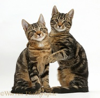 Tabby cats together, one with arm around the other