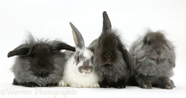 Four fluffy Lionhead x Lop bunnies in a row
