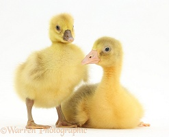 Two Embden x Greylag Goslings