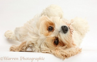Cavachon lying upside down