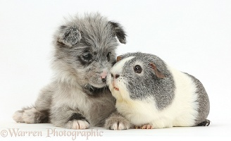 ChiPoo puppy and Guinea pig