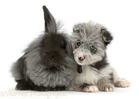 ChiPoo puppy and black rabbit