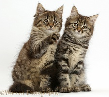Two tabby kittens sitting together