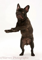 French Bulldog leaping up