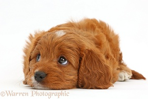 Cavapoo puppy with chin on floor, looking up