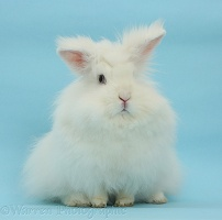 White Angora-Lionhead rabbit on blue background