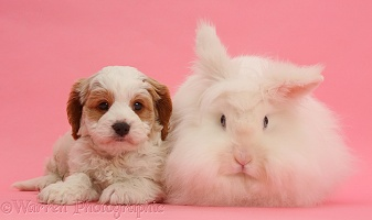 Cavapoo puppy and white rabbit on pink background